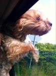 Yorkshire terrier called Ellie lost blackrock area