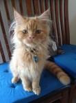Pumpkin O'Riordan , male neutered ginger cat, lost Bishopstown Cork