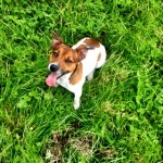 Brown and white Jack Russell in Mahon