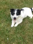 Male Terrier lost in Glanmire