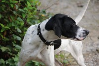 Black and white male pointer lost in Cork City