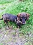 Lost dog mizzen head cork dashound