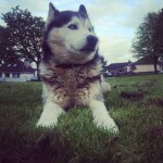 Black and white male Husky with blue eyes and brown collar lost in mayfield Cork