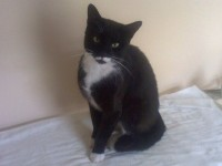 Male Tuxedo Cat Lost near Mahon Point Cork
