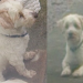 Male white terrier lost in Killaloe