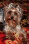 YorkshireTerrier, Male, 2 years old