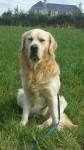 Male Golden Retriever lost Aherla/Cloughduv