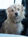 Male Terrier cross lost in Kenmare