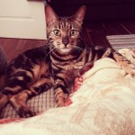 Male, Bengal cat lost in Harbour Heights, Passage West.