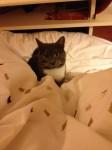 Female grey cat lost in Cloghroe, Co. Cork