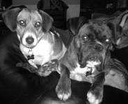 jake (boxer)  & sam( terrier) bansha/kilmoyler area