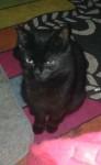 Black female cat Lismore