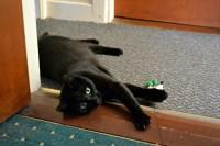 Black Cat Missing Bandon Road/College Road Area