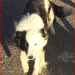 Lost female Collie