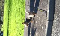 Male terrier
