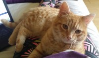 Lost cat Blarney st/Shandon st area