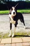 Missing Rex in Westmeath/Meath area