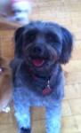 Lost dark grey poodle cross dog in Cratloe Co.Clare