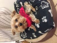 Male Yorkshire terrier lost Kanturk