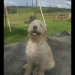 male goldendoodle lissrda macroom
