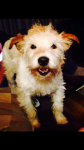 Little Moe long haired terrier lost in ringaskiddy/carrigaline area