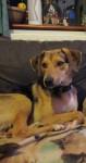 Missing Dog – berger de beauce mix breed