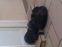 Lost large male black labrador 6 year old in Glenville