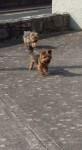 2 Yorkshire terriers lost in cloyne