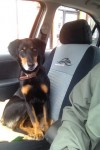 Male black and gold small dog, lost in glengarra wood south Tipperary