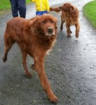 2 male red setters
