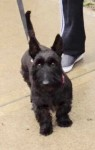 Male Scottish terrier lost in Innishannon