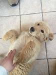 Lost Puppy ( Alsatian/labrador cross)