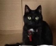 Small Black Female Cat lost in Oakfield, Glanmire