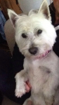 LOST: Male west highland in the Carrigtwohill area