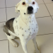 Collie cross white with black spots