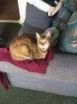 Lost family pet. Belle female tabby