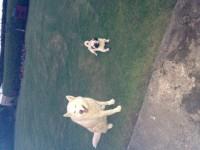 Missing – Female pug –  aghada/ whitegate/ inch beach area