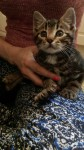 Found – Male kitten – tabby – 8-12 weeks old approx – THOMAS DAVIS STREET