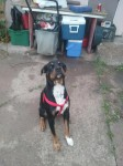 Male Rottweiler Mix lost in Commerce City, CO