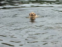 Lost small golden lab in Ballincollig