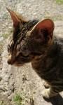 Friendly male tabby cat found