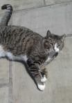 Tabby Cat Lost in Castlejane, Glanmire