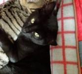 BLACK MALE CAT LOST IN MONTENOTTE