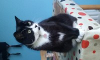 Missing – black and white cat