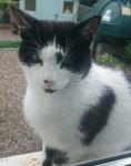 black & white male cat found in Sixmilebridge