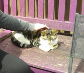 Female calico tabby cat lost in Cork, south city centre