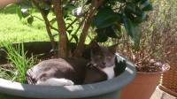Lost grey male cat in the Cloisters Ballincollig