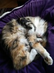 Lost female calico cat in Carrigaline