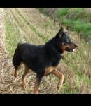 female rottweiler/german shepherd cross missing in Carrigtwohill