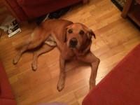 Tan Labrador lost in Ballincollig